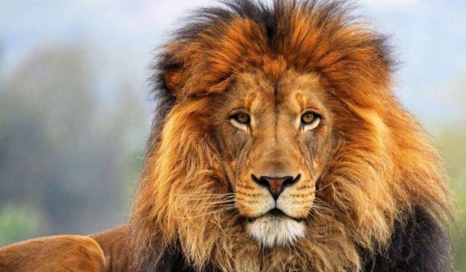 Sonhando com o significado de leões