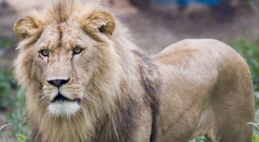 Sonhar com leão: Significado, Interpretação