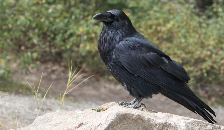 Sonhar com corvo: Significado e interpretação de sonhos