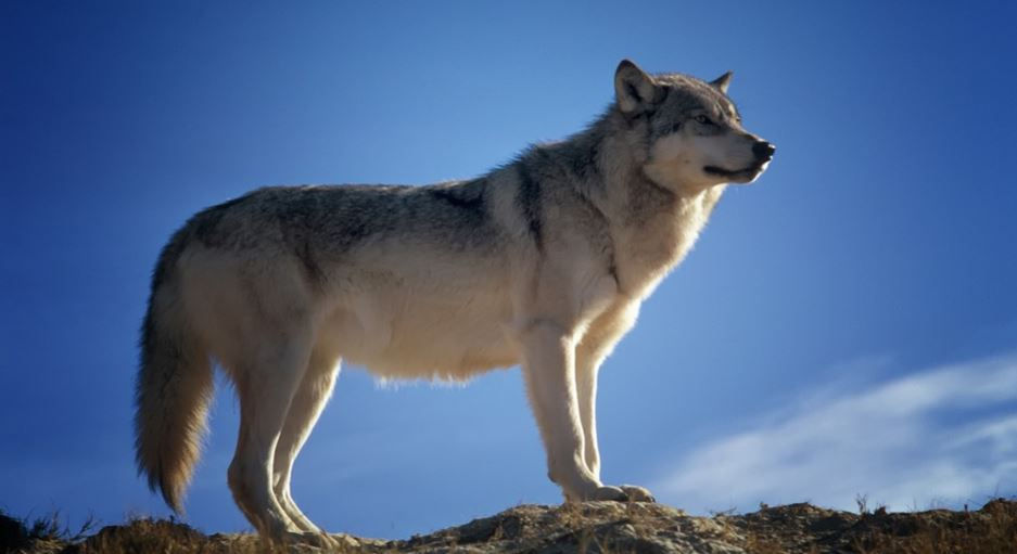 Sonhar com lobo: Significado e interpretação de sonhos