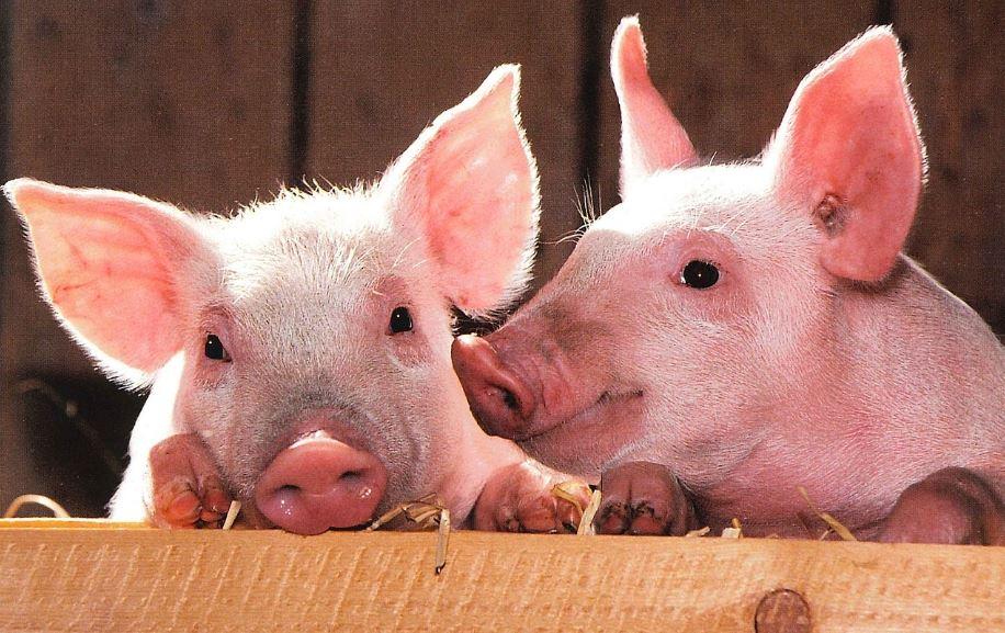 Sonhar com porco: Significado e interpretação de sonhos