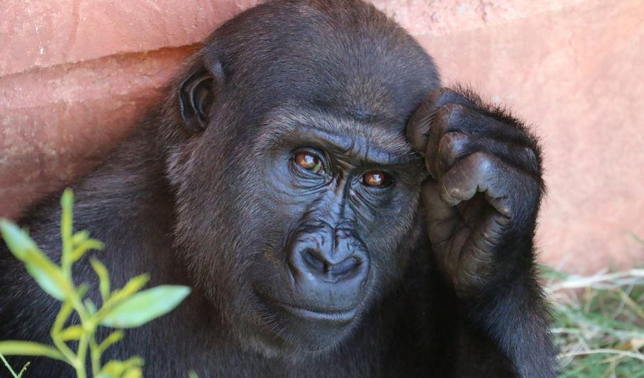 Sonhar com gorila: Significado e interpretação de sonhos