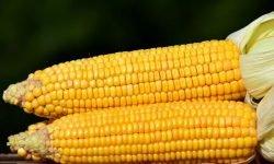 Milho: 13 benefícios e propriedades para a saúde