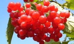 Cranberry: 14 benefícios e propriedades para a saúde
