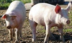 Sonhar com porco: Significado dos Sonhos
