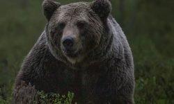 Sonhar com urso: Significado dos Sonhos