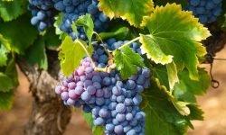 Sonhar com uva: Significado dos Sonhos
